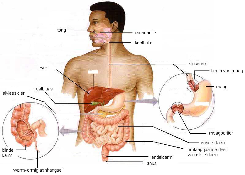 werking pancreas verbeteren